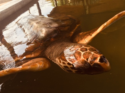 Our oldest resident, a 4 year-old loggerhead